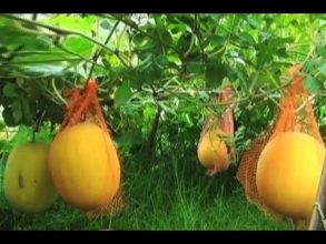 'গোল্ডেন তরমুজ' চাষে স্বাবলম্বী সোনারগাঁও'র কৃষক